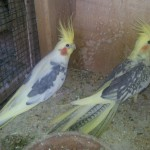 Cockatiel Birds , 6 Nice Cockatiel Breeders In Birds Category