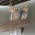 Cockatiel Birds Breeder , 6 Nice Cockatiel Breeders In Birds Category