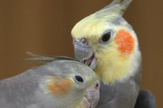 Cockatiel Breeder in Primates