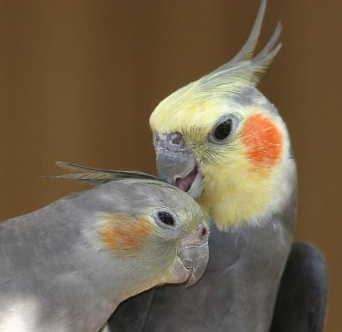 Cockatiel Breeder