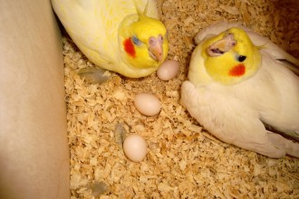 Cockatiel Breeding Box , 7 Cute Breeding Cockatiels In Birds Category