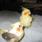 Cockatiel Colours , 6 Good Cockatiel Lifespan In Birds Category