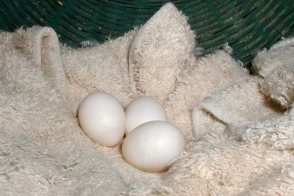 Cockatiel Eggs in Dog