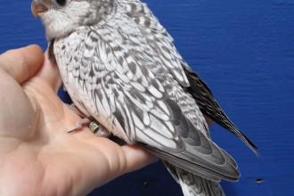 Cockatiel Mutations , 6 Good Cockatiel Lifespan In Birds Category