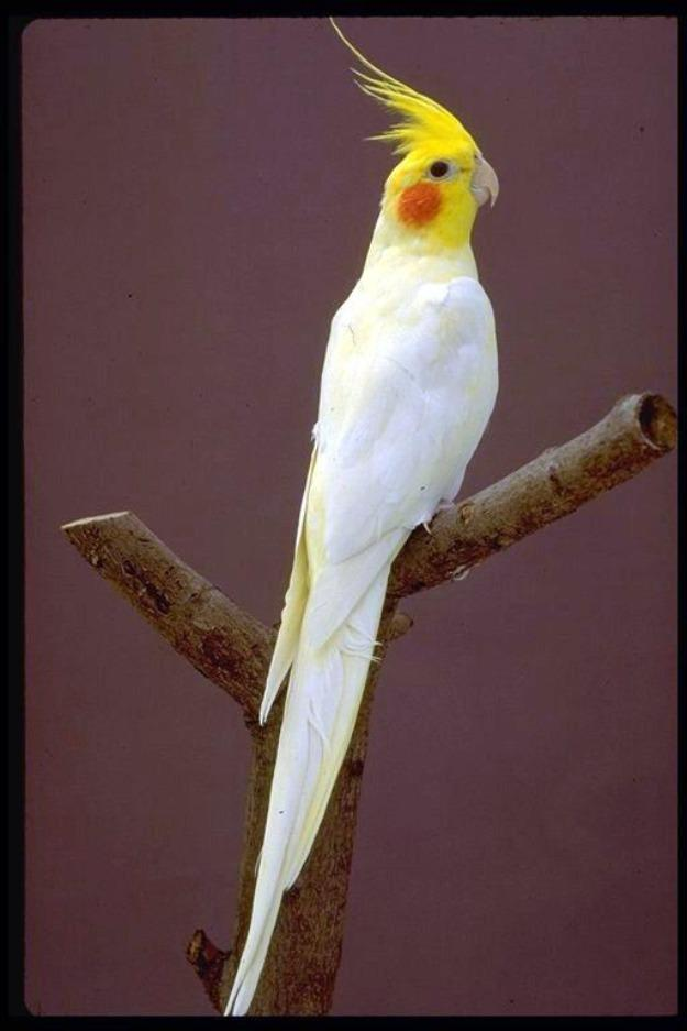 Birds , 7 Nice Cockatiel Prices : Cockatiel Parrot
