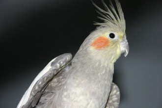 Cockatiel Pictures , 8 Fabulous Cockatiel Pictures In Birds Category