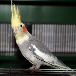 Cockatiel Rico , 8 Fabulous Cockatiel Pictures In Birds Category