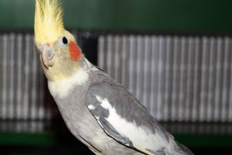 Cockatiel Rico in Dog