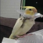 Cockatiel Singing Talking Spooky , 7 Fabulous Cockatiel Talking In Birds Category