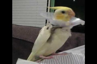 Cockatiel Singing Talking Spooky in Dog