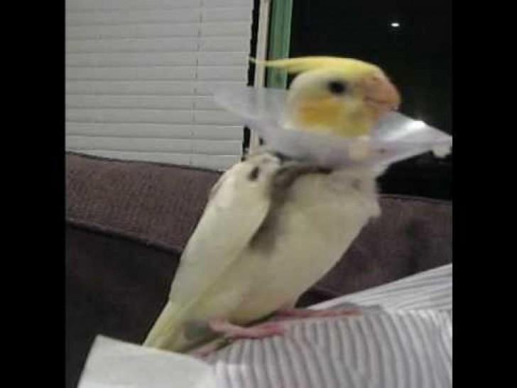 Birds , 7 Fabulous Cockatiel Talking : Cockatiel Singing Talking Spooky