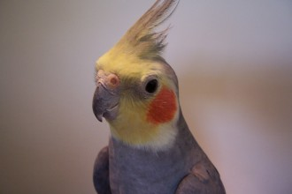 Cockatiel Wallpaper , 7 Charming Cockatiel Names In Birds Category