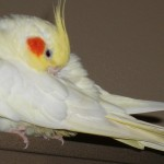 Cockatiel birds , 8 Fabulous Cockatiel Pictures In Birds Category