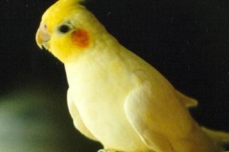 Cockatiel Birds , 7 Nice Cockatiel Prices In Birds Category