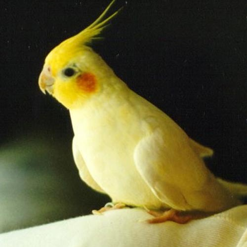 Birds , 7 Nice Cockatiel Prices : Cockatiel Birds