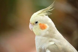 Cockatiel in Butterfly