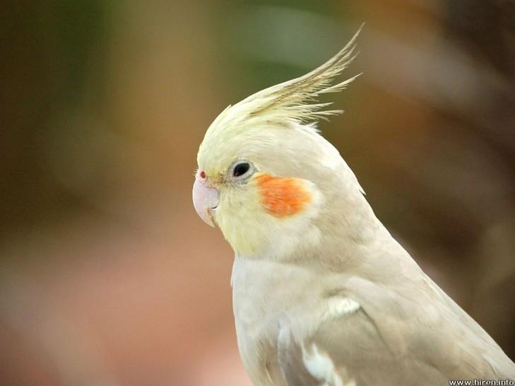 Birds , 7 Nice Types Of Cockatiels : Cockatiel