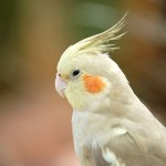 Cockatiel , 7 Charming Cockatiel Names In Birds Category