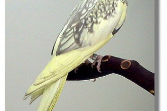 Cockatiels mutations in Butterfly