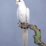 Cockatiels , 7 Amazing Albino Cockatiel In Birds Category