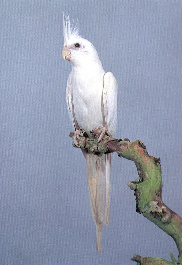 Birds , 7 Amazing Albino Cockatiel : Cockatiels