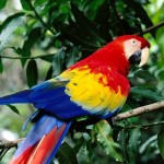 Colorful Scarlet Macaw , 7 Wonderful Scarlet Macaw Facts In Birds Category