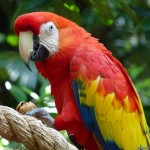 CostaRica Parrot , 6 Facts About Macaws In Birds Category