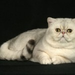Cute Munchkin Cat , 5 Cute Munchkin Cat Pictures In Cat Category