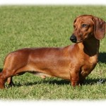 Dachshund , 8 Fabulous Funny Weiner Dog Pictures In Dog Category