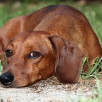 Dachshund Dog , 8 Fabulous Funny Weiner Dog Pictures In Dog Category