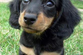 Dachshund Dogs , 8 Fabulous Funny Weiner Dog Pictures In Dog Category