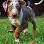 Dog Catahoula Leopard , 7 Gorgeous Catahoula Dog Pictures In Dog Category