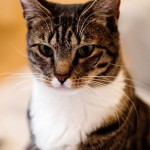 Domestic Cat , 6 Lovely Cat Breeds With Pictures In Cat Category