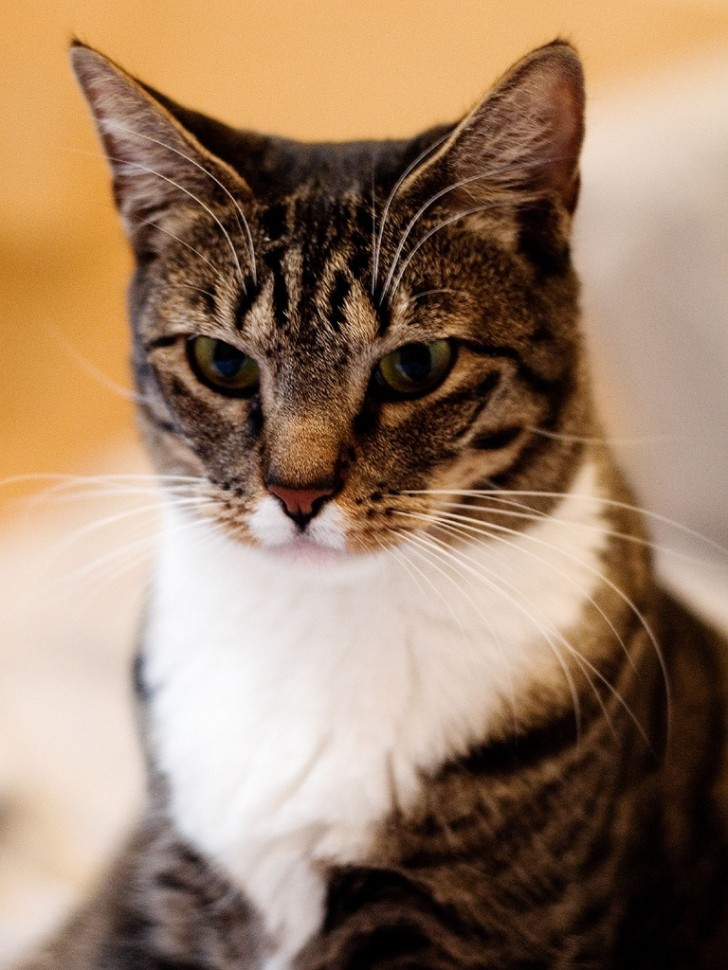 Cat , 6 Lovely Cat Breeds With Pictures : Domestic Cat