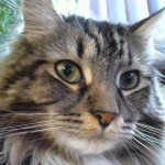 Domestic Cat Breeds , 6 Lovely Cat Breeds With Pictures In Cat Category