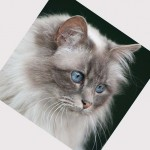 Domestic cat breed , 7 Beautiful Cat Breeds With Pictures In Cat Category