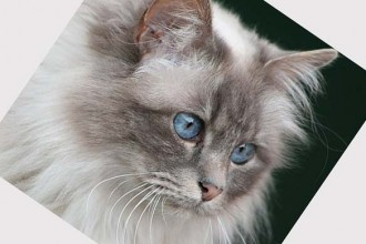 Domestic cat breed in pisces
