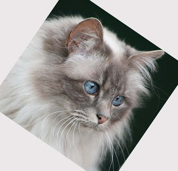 Cat , 7 Beautiful Cat Breeds With Pictures : Domestic Cat Breed