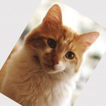 Domestic cat breeds , 7 Beautiful Cat Breeds With Pictures In Cat Category