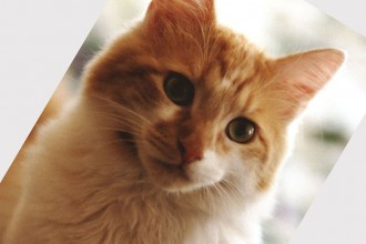 Domestic cat breeds in pisces