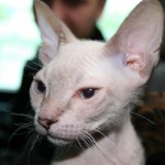 Donskoy cat , 7 Nice Pictures Of Hairless Cats In Cat Category