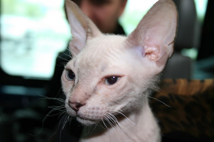 Cat , 7 Nice Pictures Of Hairless Cats : Donskoy Cat