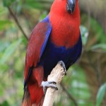 Eclectus Parrot , 7 Charming Eclectus Parrot In Birds Category