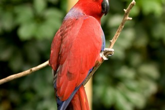 Eclectus Parrot Bird Pictures , 8 Fabulous Eclectus Parrots In Birds Category
