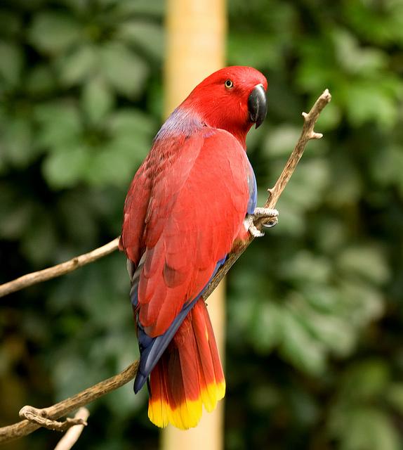Birds , 8 Nice Eclectus Parrot : Eclectus Parrot Bird