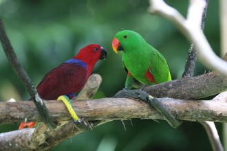 Eclectus Parrot Birds , 8 Nice Eclectus Parrot In Birds Category