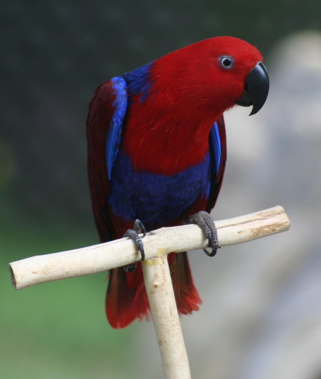 Eclectus Parrot Pictures