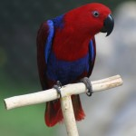Eclectus Parrot Pictures , 8 Fabulous Eclectus Parrots In Birds Category