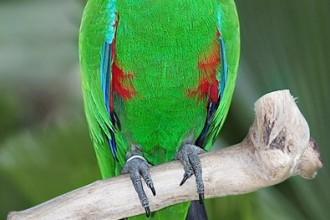 Eclectus Parrot Pictures , 8 Fabulous Eclectus Parrots In Birds Category