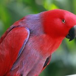 Eclectus Parrot RWD , 7 Charming Eclectus Parrot In Birds Category
